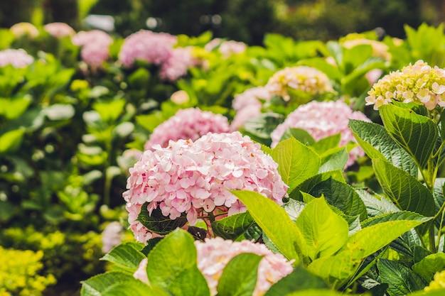 Tak van licht roze hortensia bloemen bloeien in de tuin