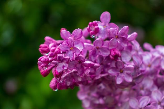 Tak van lila bloemen met groene bladeren. grote lila tak bloei. heldere bloemen van lente seringen bush.boeket van paarse bloemen.lente blauw lila bloemen close-up op onscherpe achtergrond.