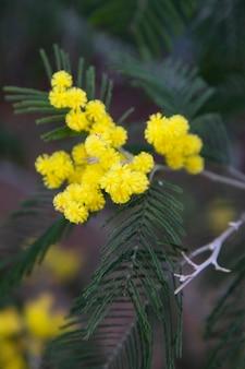Tak van mimosaboom met bloemen. gele mimosa bloeit in het voorjaar in maart.