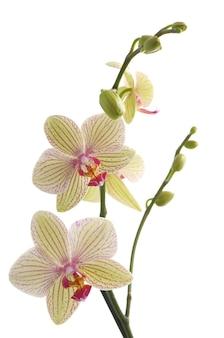 Tak van orchideebloem (phalaenopsis) op witte achtergrond