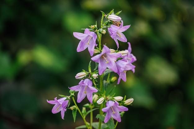 Tak van paars gekleurde bellflowers op groen