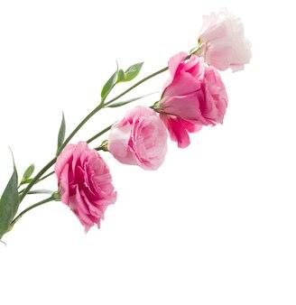 Tak van roze eustomabloemen geïsoleerd