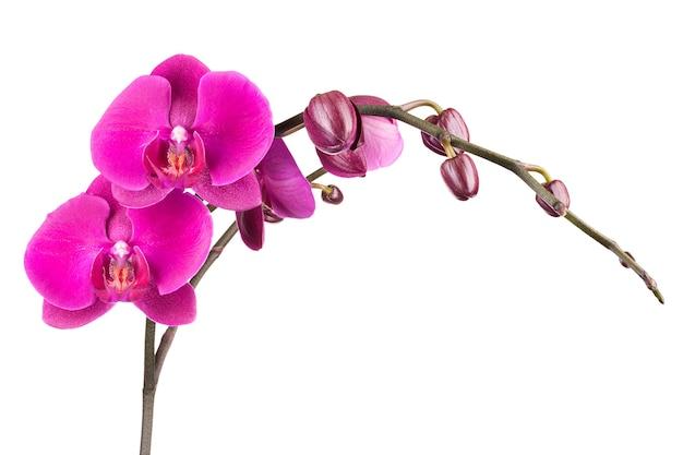 Tak van roze phalaenopsis bloemen geïsoleerd op witte achtergrond