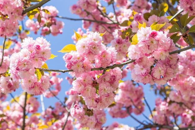 Tak van roze sakura op blauwe achtergrond.