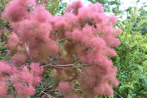 Tak van skumpia-boom die groeit in het russische verre oosten