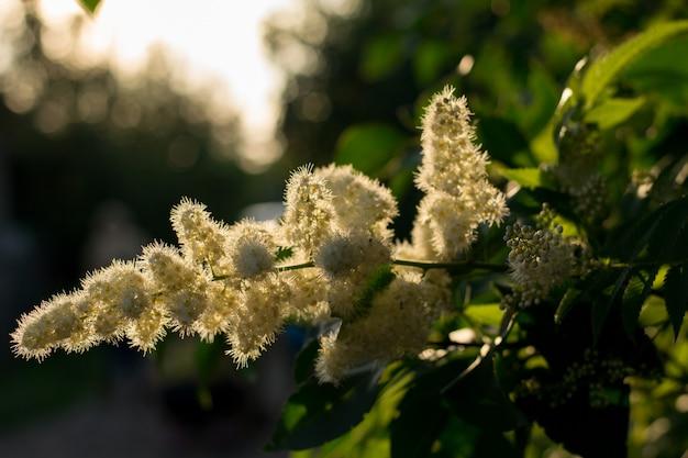 Tak van spirea. bloeiende spirea witte kleine bloemen en bladerenachtergrond. spirea struik gebladerte patroon.