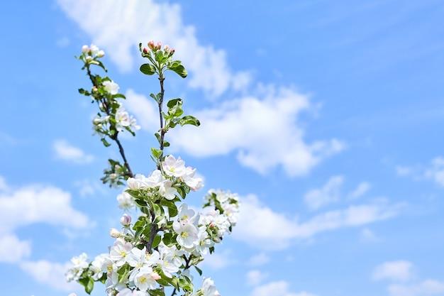 Tak van tot bloei komende appelboom. bloemen met witte bloemblaadjes tegen de blauwe lucht met wolken. lentetuin