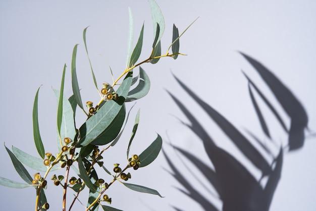 Tak van verse eucalyptus op een grijze achtergrond