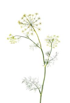Tak van verse groene dille kruid bladeren geïsoleerd op een witte achtergrond. bloeiende plant dille.