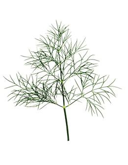 Tak van verse groene dille kruid bladeren geïsoleerd op een witte achtergrond.