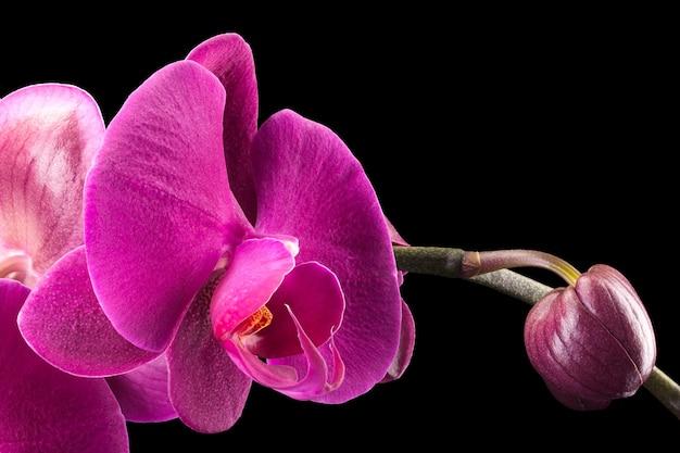 Tak van violet phalaenopsis of vlinder orchidee uit familie orchidaceae geïsoleerd op zwarte achtergrond met uitknippad