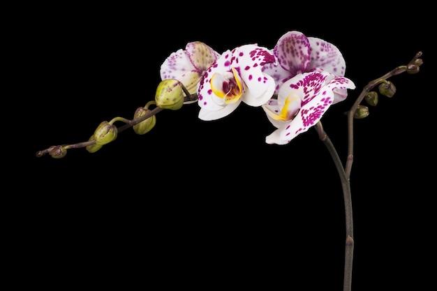 Tak van witte phalaenopsis of vlinder orchidee uit familie orchidaceae geïsoleerd op zwarte achtergrond met uitknippad