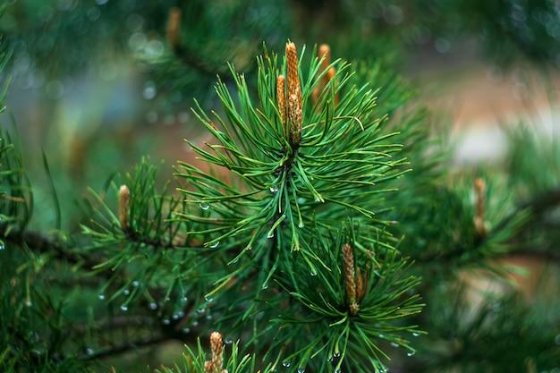 Takje den na regen, naaldboom, spar met regendruppel.