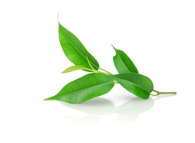 Takje met groene bladeren geïsoleerd op wit