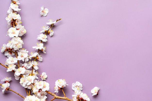 Takjes abrikozenboom met geïsoleerde bloemen