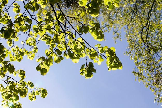 Takjes van een boom met loof in de lente tegen de blauwe lucht van zonlicht