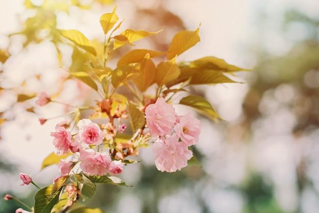 Takjes van roze sakura bloeit in de zon. zachte selectieve focus. lente bloementextuur.
