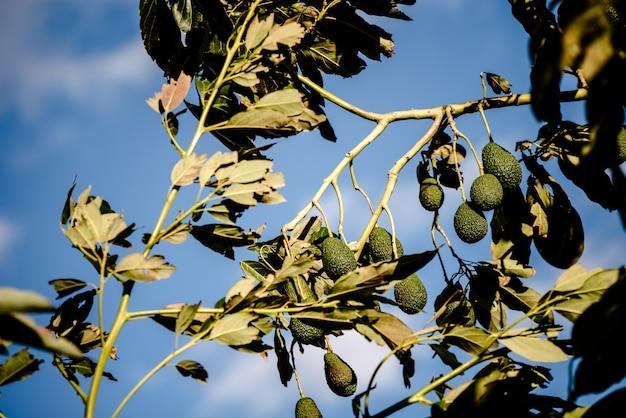 Takken gevuld met hass avocado's van ruwe huid in een plantage.
