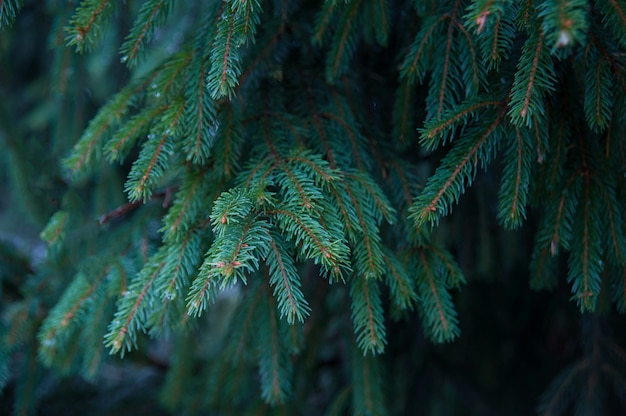 Takken harige boom voor een kerstkaart. winter