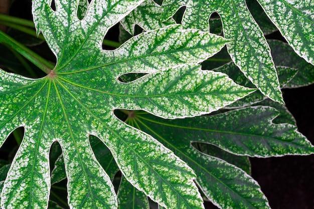 Takken met grote groene bladeren van fatsia japonica. groen met witte bladtextuur.