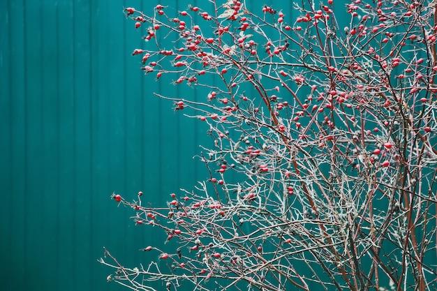 Takken met rozenbottels in de sneeuw