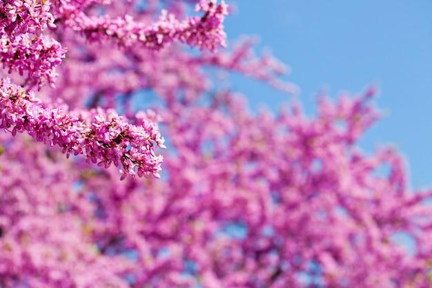 Takken met verse roze bloemen in het ochtendzonlicht tegen de blauwe hemel