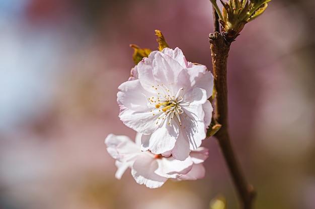 Takken sakura met bloesems op boom in straten in de stad. boom met bloemen in het voorjaar in witte en roze bloei. kersentakken of bloeiende boom in het voorjaar voor achtergrond.