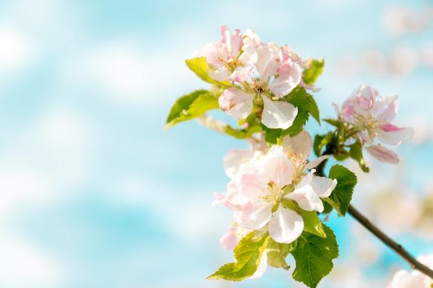 Takken van appelbloesem op een blauwe achtergrond