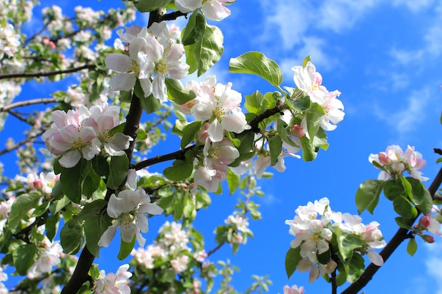 Takken van appelboom en blauwe hemel