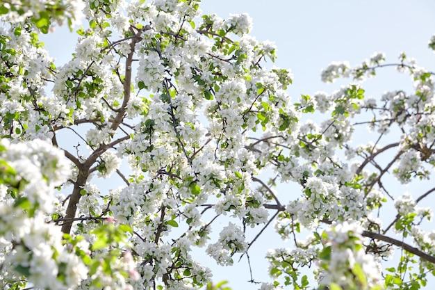 Takken van bloeiende appelboom tegen de blauwe hemel
