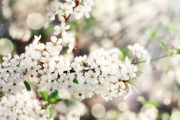 Takken van bloeiende kersen met zachte focus op de natuur