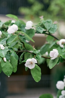 Takken van bloeiende witte kweepeerbloemen in de lente