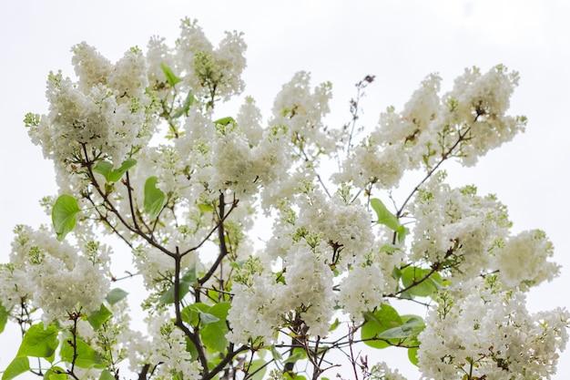 Takken van bloeiende witte seringen tegen de hemel.