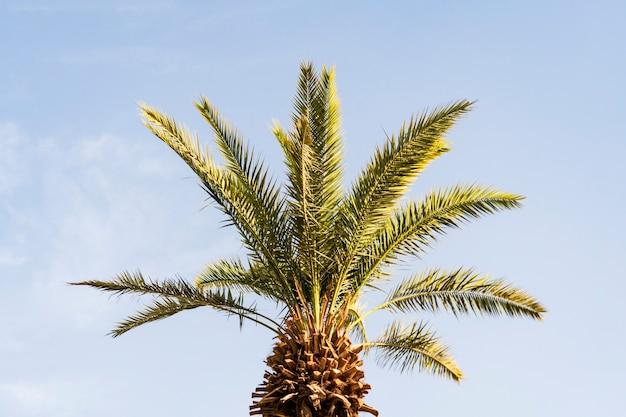 Takken van dadelpalmen onder de blauwe hemel. grote mooie groene palmtakken op een jonge dadelpalm.