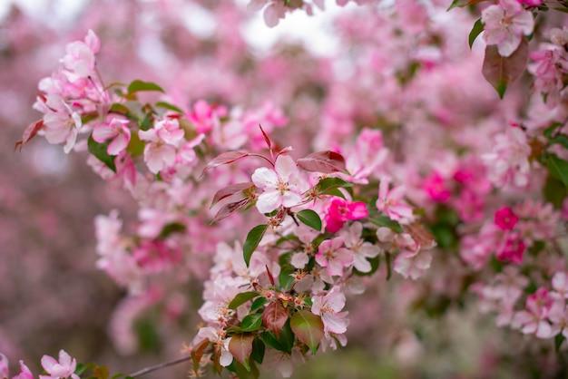 Takken van een bloeiende appelboom, grote tedere witte en roze knoppen als symbool van de lente