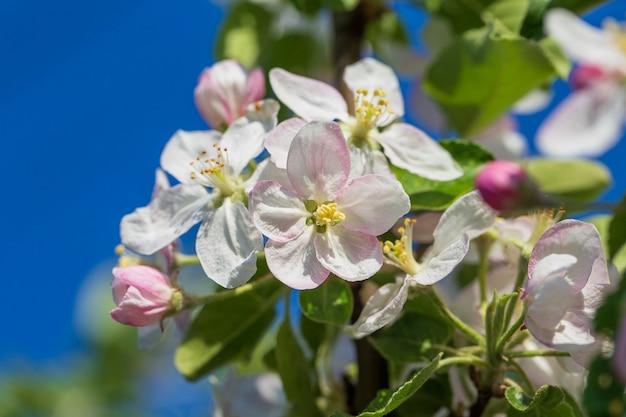 Takken van een bloeiende appelboom tegen de blauwe hemel, close-up