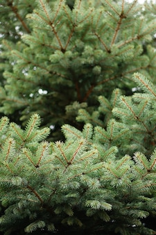 Takken van een groene dennenboom overdag