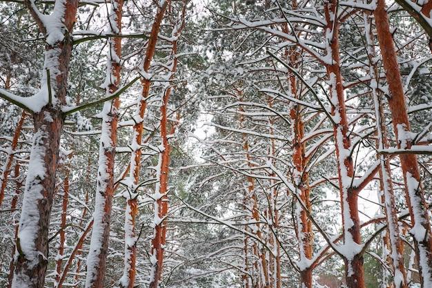 Takken van een kerstboom bedekt met sneeuw. natuurlijke sparren winter achtergrond