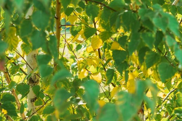 Takken van geel en groen gebladerte van berk op een warme zonnige dag in de herfst. nazomer.
