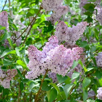 Takken van paarse lila en groene bladeren. bloeiende tak van lila