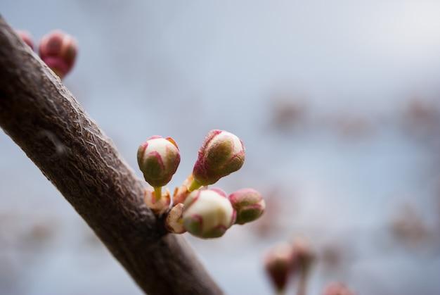 Takken van tot bloei komende kersenmacro.