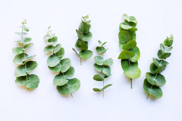 Takkeneucalyptus op wit wordt geïsoleerd dat