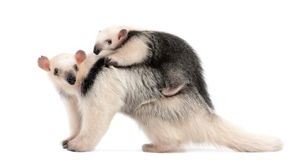 Tamandua, tamandua tetradactyla moeder en kind, staande tegen witte muur geïsoleerd