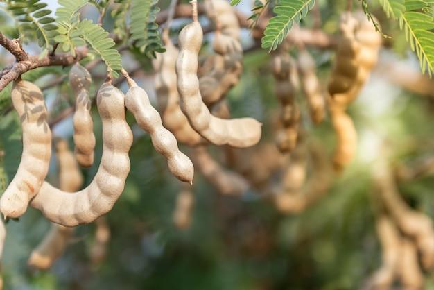 Tamarinde aan de boom die volgroeid is klaar om te oogsten