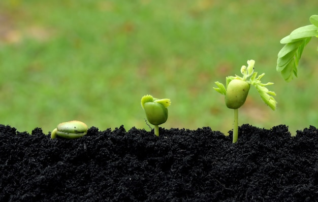 Tamarinde jonge planten groeien in de bodem op groene natuur achtergrond. groeiend stap-concept.