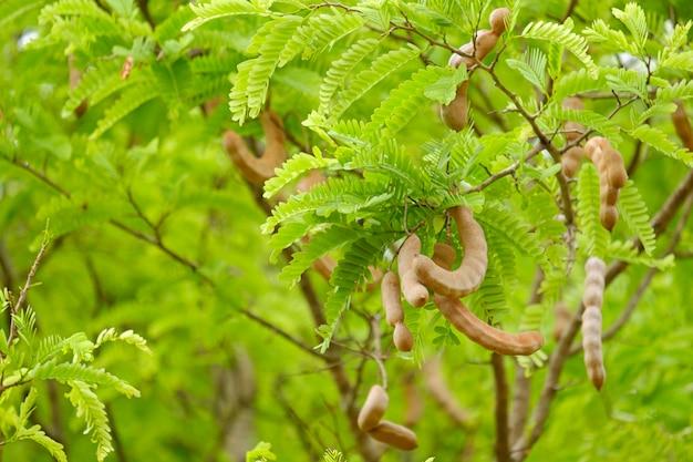 Tamarinde op een tak met groene bladeren en kopieer de ruimte