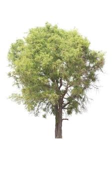 Tamarindeboom op wit wordt geïsoleerd dat