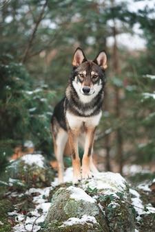 Tamaskan-hond die op een rots in een bos staat