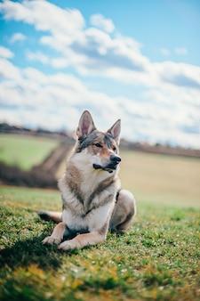 Tamaskan hond zit overdag in de tuin
