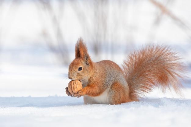 Tamia sciurus hudsonicus rode eekhoorn op witte sneeuw.
